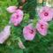 Mocsárihibiszkuszok Rózsa színűek 0