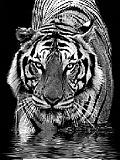 Rafinát tiger.