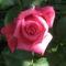 Rózsasin futórózsa