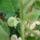 A jurassica termést hozott, - (solanum quitoense)