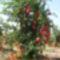 Gránátalma-fa