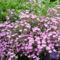 Saponaria ocymoides gyepes szapafű