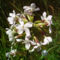 Saponaria_officinalis orvosi szappanfű