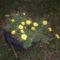 Sárga virágocska