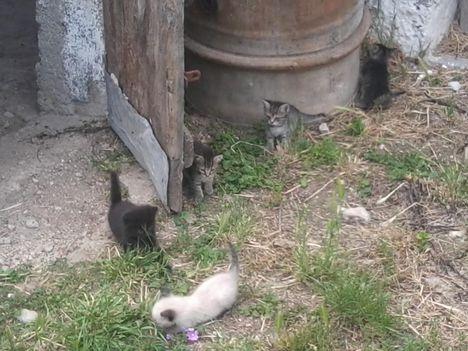 4 cica gazdit keres (a sziámi keverék már gazdis)
