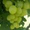 Milyen szőlő?