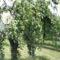 Öreg szilvafa.