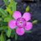 Rétiszegfű - Dianthus Deltoides