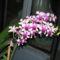 Füvészkert, 2012.szeptember hónap: Dendrobium phalaenopsis 1
