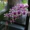 Füvészkert, 2012.szeptember hónap: Dendrobium phalaenopsis 2
