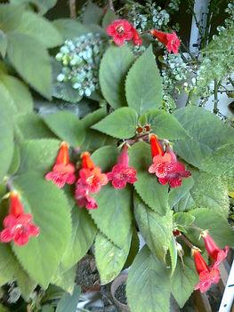 Peremvirág (kohleria)