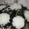 Pom-pom virágaim 007