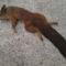 Találtam egy mókustetemet az arborétumnál.