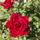 Mini_rozsa-003_1555122_4940_t