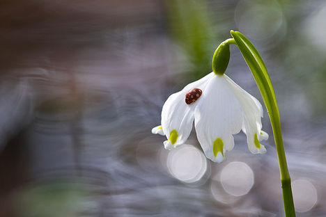 tavaszi tőzike 2