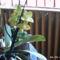 sárga szinű orchideám