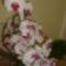orchideám egyik fele