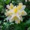 Jeli arborétumban ,Rododendron