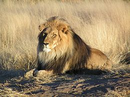 260px-Lion_waiting_in_Namibia  Oroszlán