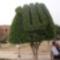 Csak egy fa