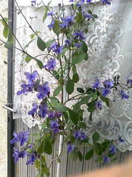Ugandai kék pillangóvirág (clerodendrum ugandense)