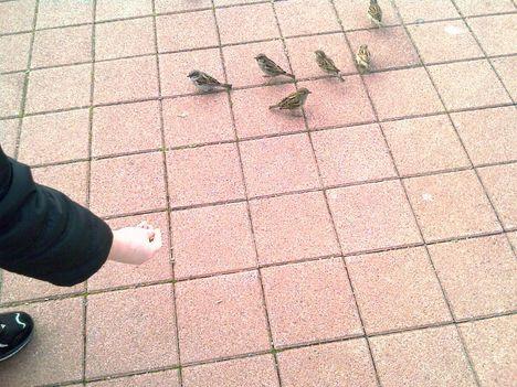 Balaton- kis madár veréb