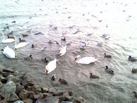 Balaton -madár