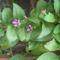 goji bogyó virága
