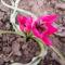 Tulipa 'Little Beauty'