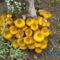 A meggyfa tuskóján nő a gomba
