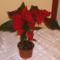 Mikulás virág 1