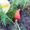 Másodvetésű sárgarépa