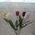 Tulipan_1577461_3502_t