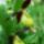 Cypripedium_calceolus_1057446_3222_t