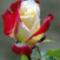 rózsa piros-fehér