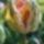 Szigethy Péter - Virágok