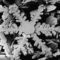 Hópihe elektronmikroszkópos képe