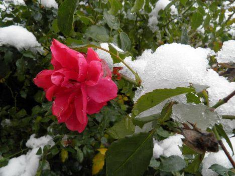 megjött a hó de a rózsa még tartja magát