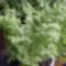Állítólag egynyári növény, de még mindig bírja!