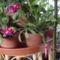 Karácsonyi kaktusz (kicsit sietett)