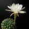 Lob.pentlandii v.albiflora