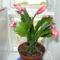 karacsonyi kaktusz piros