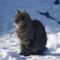 Picur felnőtt ivartalanított macskaként