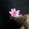 Mammillaria yaguensis