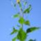 Csicsóka növény