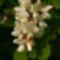 Fehér akác virágja