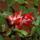 Karacsonyi_kaktusz-001_1593801_1593_t
