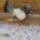 Lajkó Lajos galambjai
