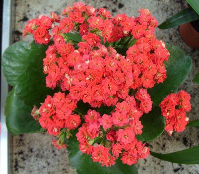 szobai koráll virág