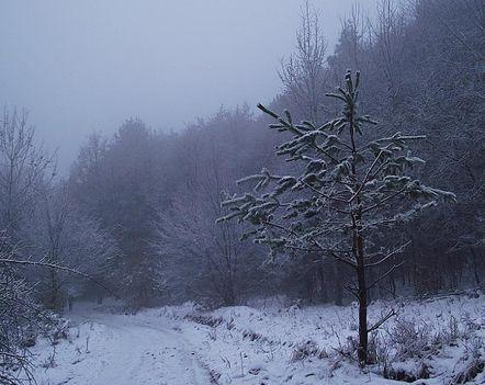 Zemplén hegység  havas erdei út kis fenyővel